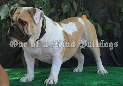 oldeenglishbulldogges017_wm