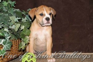 fancy and beef female two puppy liter