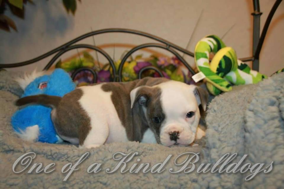 Roxy Girl puppy