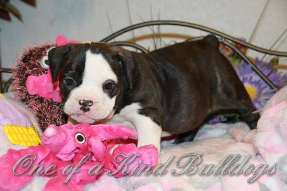 female bulldog puppy for sale