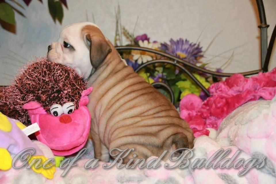 bulldog puppy picture