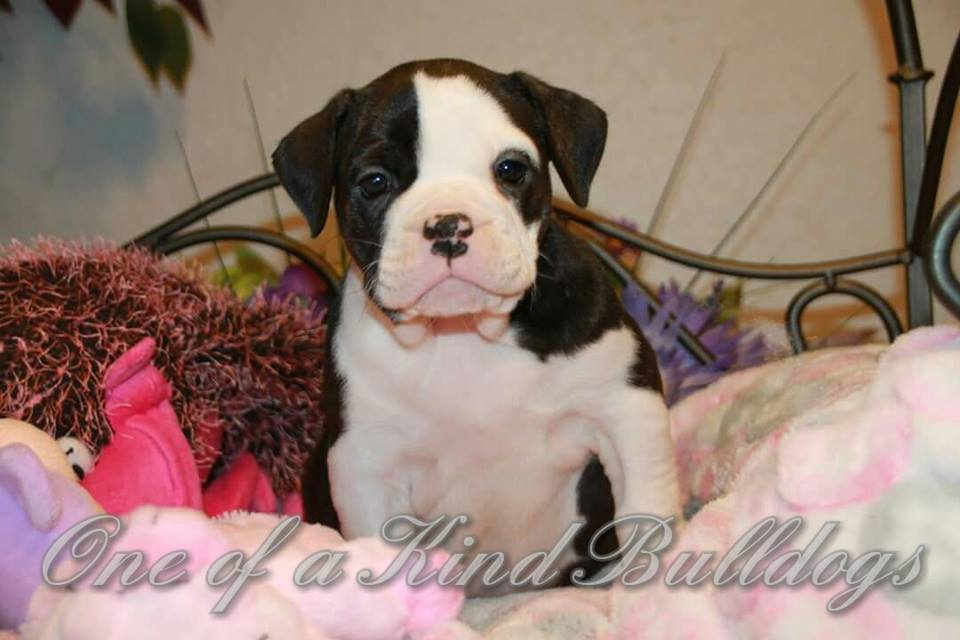 cute bulldog pup