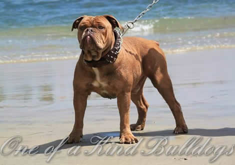 Olde English Bulldogge Males
