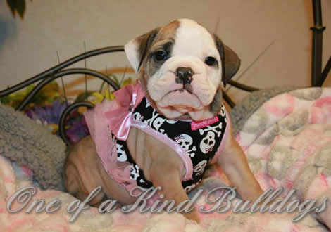 One Of A Kind Bulldogs Olde English Bulldogge Breeder