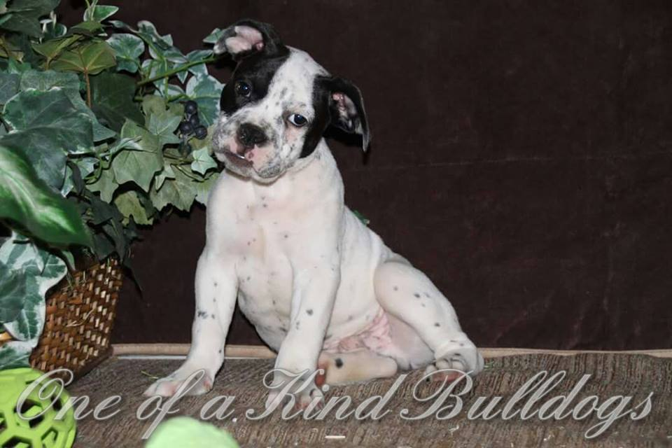 english bulldog puppies kansas city olde english bulldogges in missouri one of a kind bulldogs 444