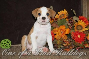 fancy and beef female bulldog liter