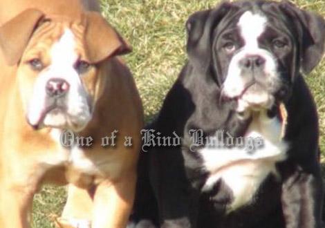 idahotoppdoggebulldogges