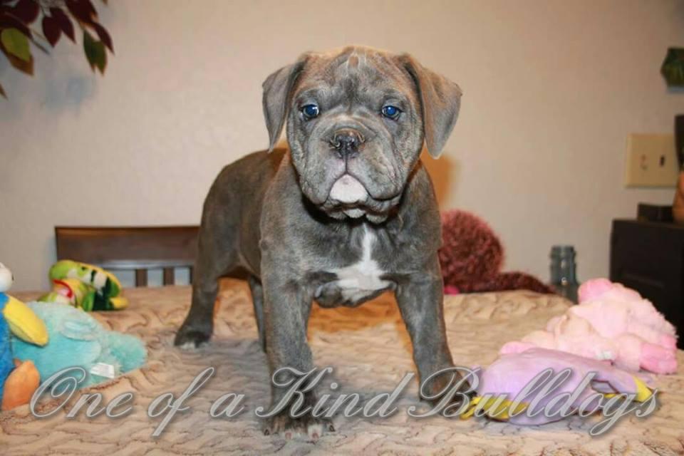 blue eyes bulldog puppy