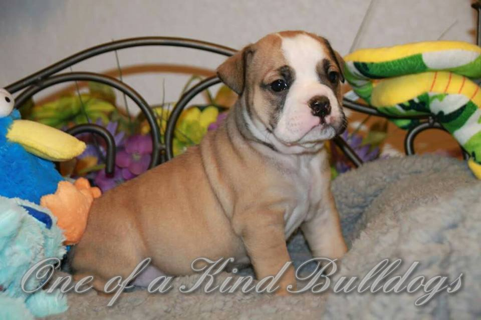 bulldog male puppy for sale