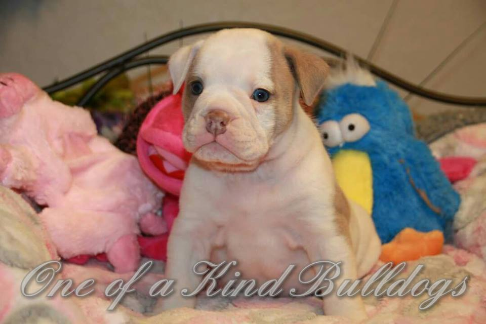 bulldog puppy california