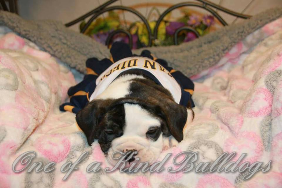 sleepy female bulldog