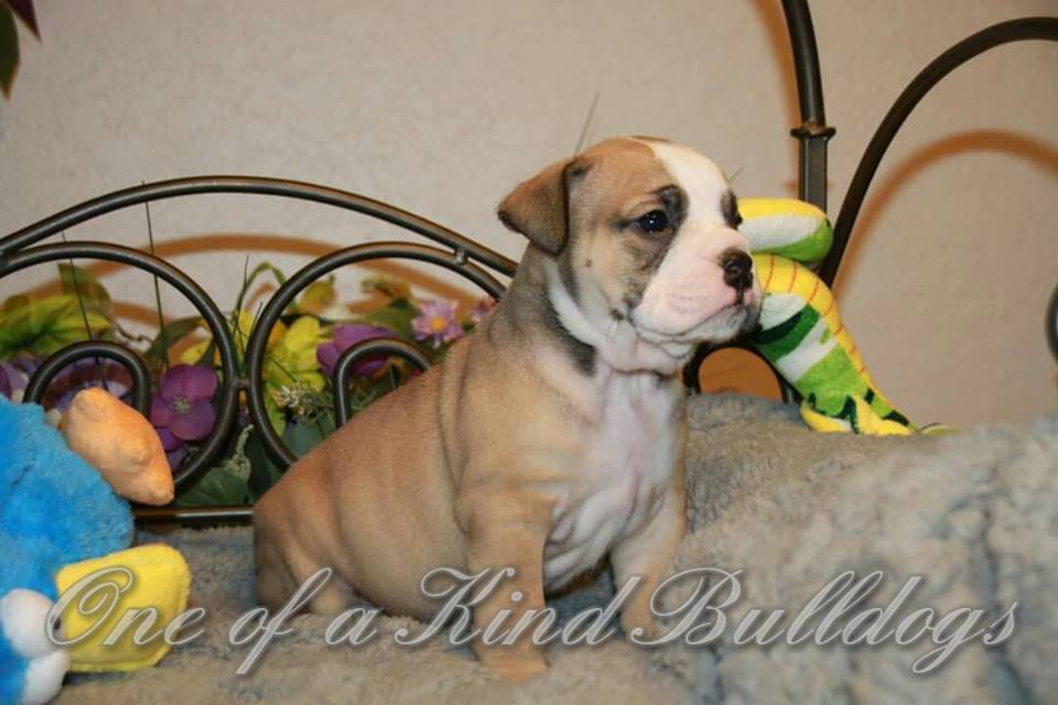 male bulldogs for sale