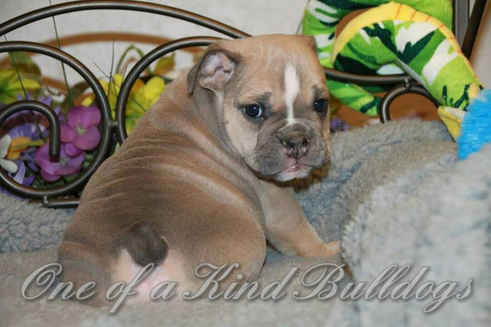 chocolate bulldog puppy