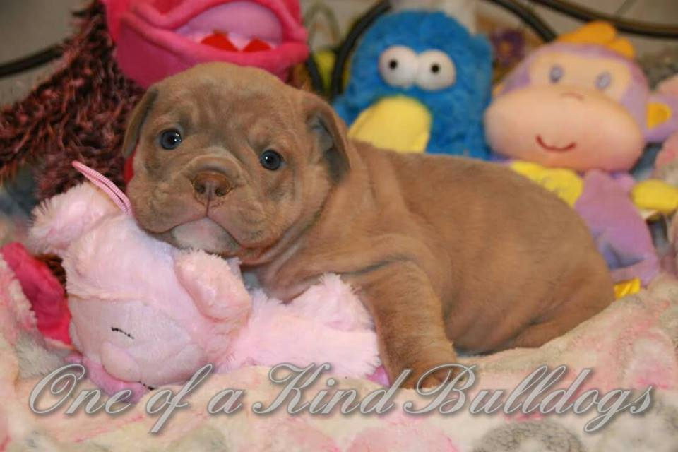 female bulldog for sale