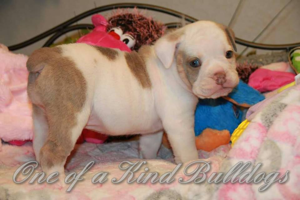 female bulldog puppy Lilac Pied