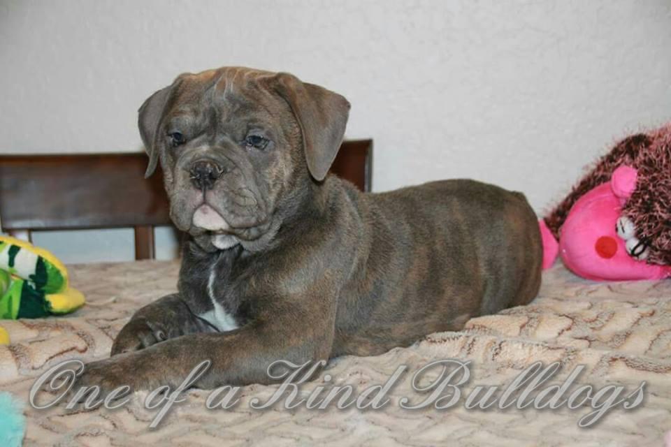 Blucious male bulldog