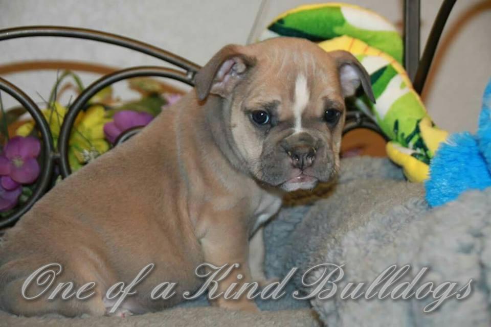 brown bulldog puppies