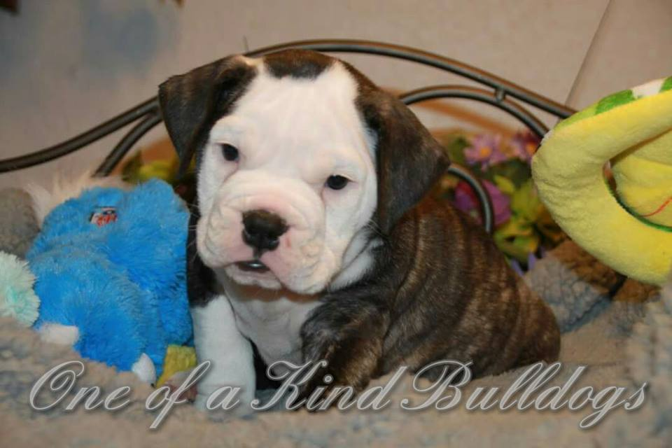 sweet bulldog puppy