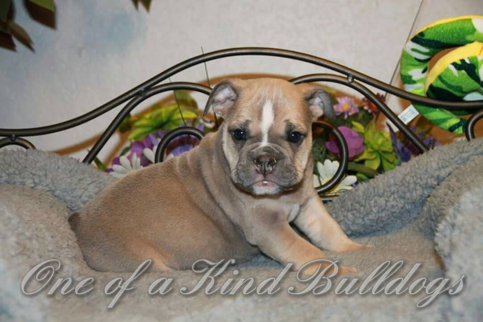 bulldog for sell