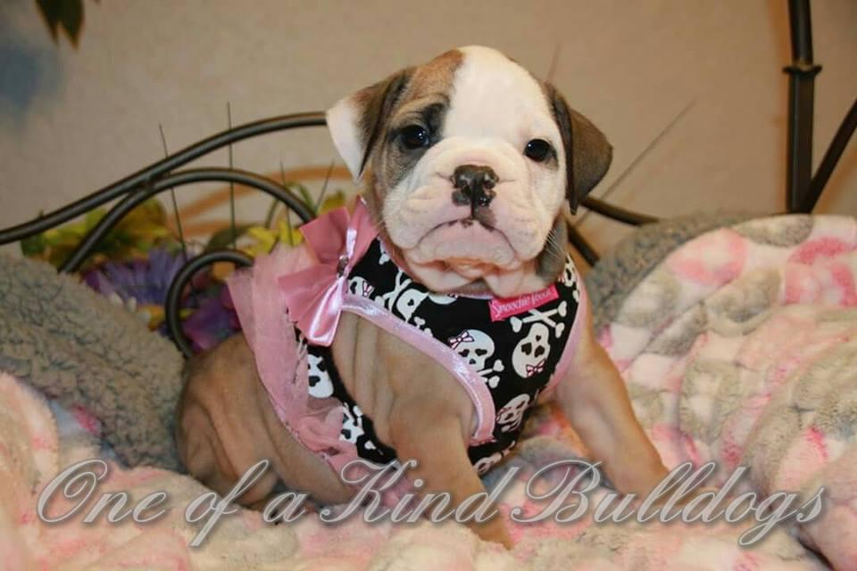 dressed bulldog