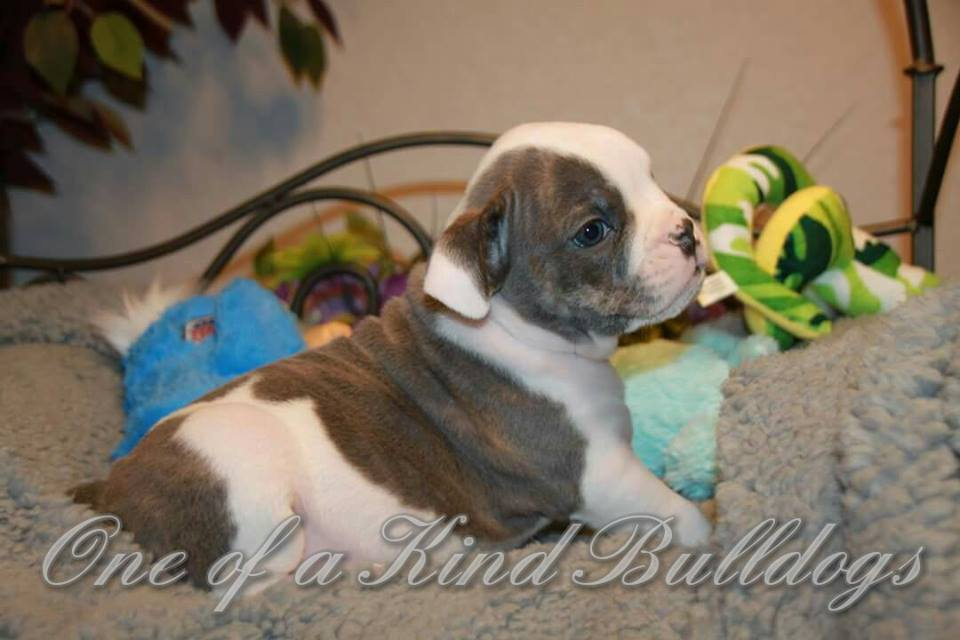 natural tail bulldog for sell