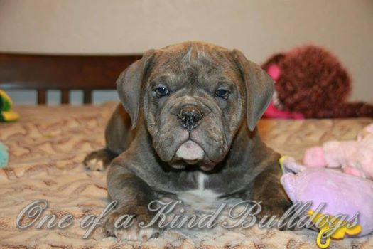 bulldog puppy pictures
