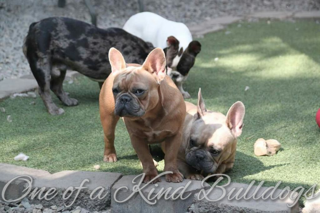 French Bulldogs - One Of A Kind Bulldogs