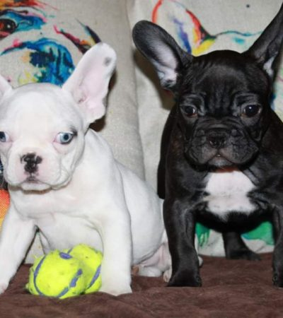Reggie & Gigi – French Bulldogs