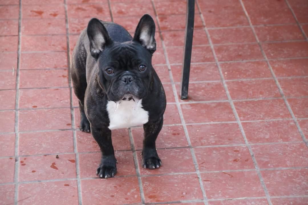 French Bulldog Reggie