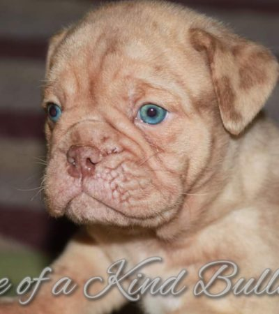 HOME - One Of A Kind Bulldogs
