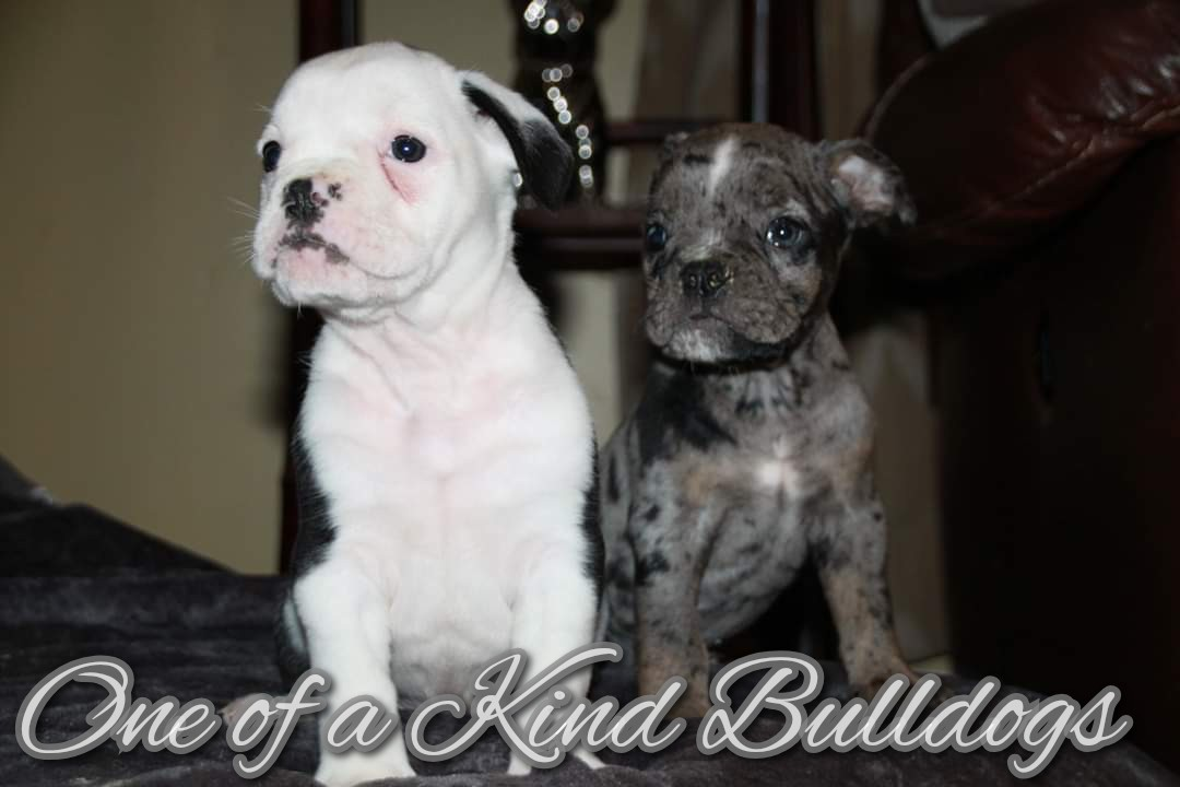 Male Olde English Bulldogge Puppies