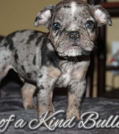 Rocky & Roulette – Old English Bulldogge Puppies