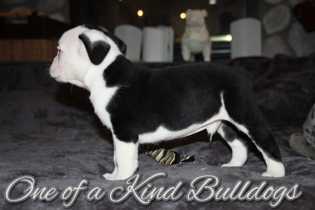 Male Olde English Bulldogge Puppy