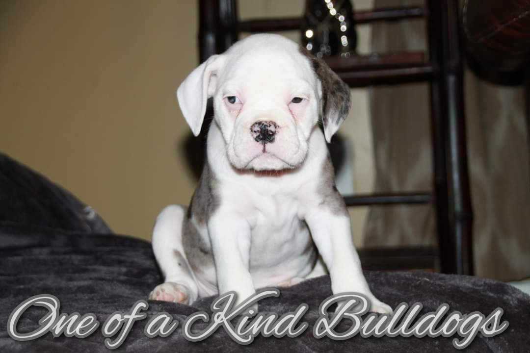 Male Black Merle Olde English Bulldogge Puppy