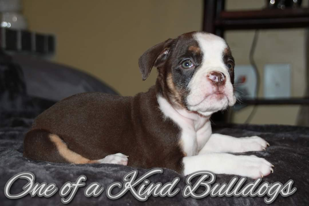 Female Black Tri Olde English Bulldogge Puppy