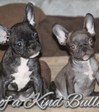 Reggie and Brulee French Bulldog Puppies