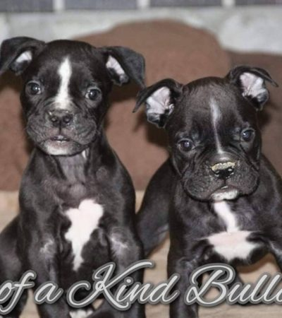 Thor & Furgie Olde English Bulldogge Puppies