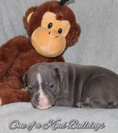Olde English Bulldogge Puppies by Thor and Lucky 2.0