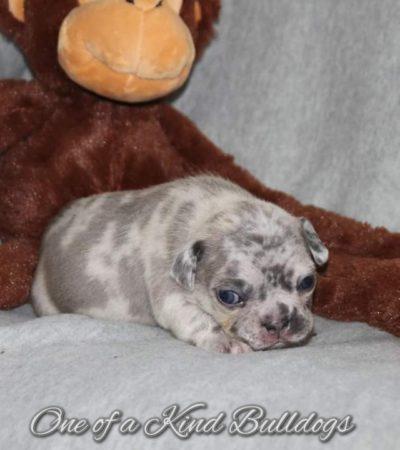 French Bulldog Puppies by Jake and Cupcake
